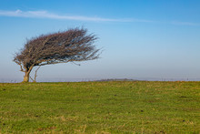 A Windswept Tree From Easterly...