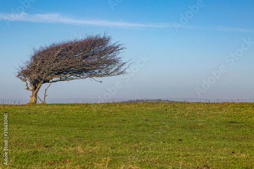 Fotografering A windswept tree from easterly winds, on Firle Beacon in the South Downs