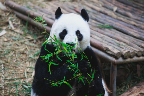 Image of a chinese panda bear eating bambusa looking in camera on nature backgro Canvas Print
