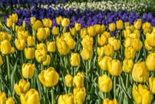 Yellow Tulip Flower Head