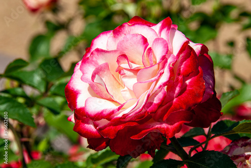 Red and White Rose Flower