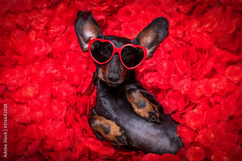 Fototapeta valentines wedding dog in love