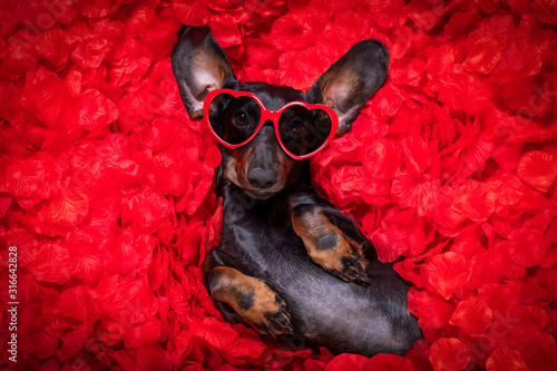 valentines wedding dog in love - 316642828