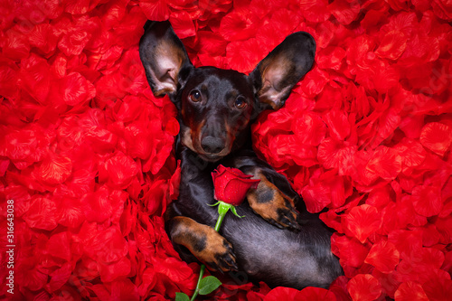 Tela valentines wedding dog in love