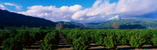 These Are Orange Groves Near F...