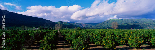 Photo These are orange groves near Fillmore
