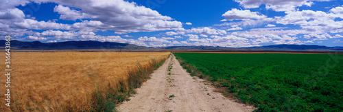 This is a dirt road dividing a wheat field and an alfalfa field Wallpaper Mural
