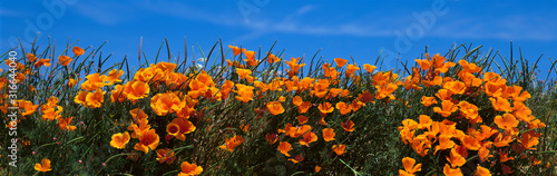 fototapeta na ścianę These are California poppies under a blue sky in spring.