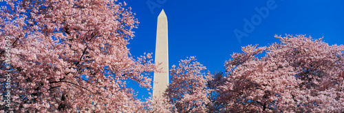 Fotografiet This is the Washington Monument set at the center amongst the spring cherry blossoms