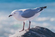Seagull On A Rock At The Beach Next To The Indian Ocean