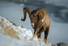 Big Horn Ram Looking For Grass