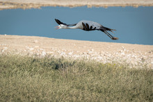 A Blue Crane Flying In Front Of A Watering Hole.  Image Taken In Etosha National Park, Namibia.