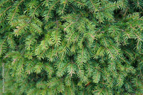 Picea abies or european spruce green plant background Wallpaper Mural