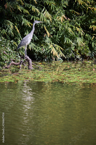 Photo A young grey heron (Ardea cinerea) looking for the food in the water of pond