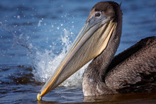 Young Brown Pelican Close Up I...