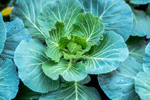Collard Greens,Organic Collard...