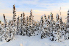 Open Forest Of Small Spruce Ev...