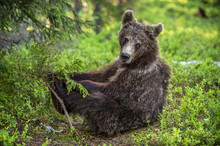Cub Of Brown Bear Sit In The S...