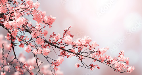 Fotografie, Obraz Beautiful nature spring background with sakura flowers