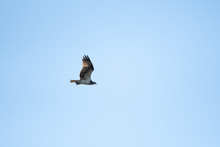 Osprey Flying In Miyazaki City...