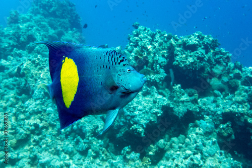 Photo Yellowband  angelfish  Pomacanthus maculosus, also known as the halfmoon angelfish,