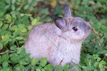 Little Grey Fluffy Rabbit In The Garden. The Netherlands Dwarf Rabbit Is One Of The Smallest Rabbit Breeds.