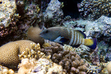Peacock Hind Grouper Fish ,Blu...
