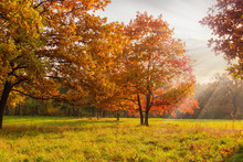 Red Oaks On Glade Edge In Autumn Park At Sunset