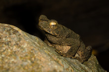 A Swamp-colored Toad With Golden Eyes In Close-up, Sitting On A Wet Green-yellow Stone.