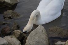 Swans At A Riverbank Looking F...