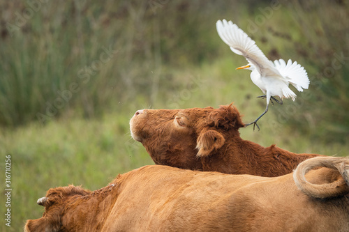 A Western Cattle Egret landing on a brown cow Canvas Print