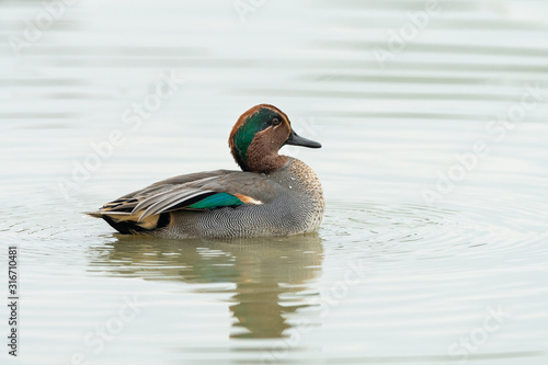 Photo A Eurasian Teal swimming on a sunny calm day in autumn