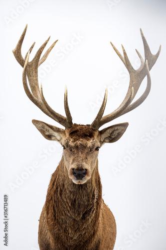 Deer portrait, colse-up.