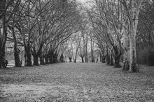 Tree In Rows In A Park