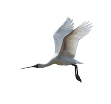 Black-faced Spoonbill Isolated...