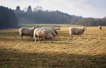 A Flock Of Sheep Grazing On Farmland In Autumn, England, UK.