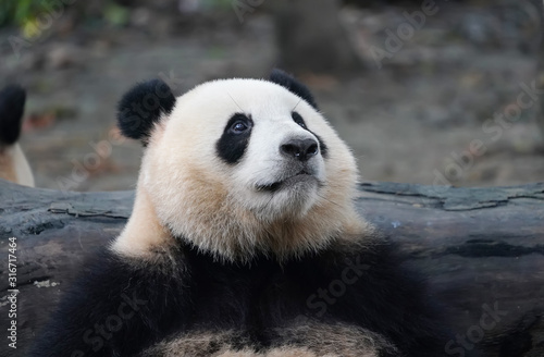 Giant panda eating bamboo,Wild Animals. Slika na platnu