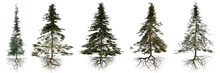Group Of Conifer Trees With Ro...