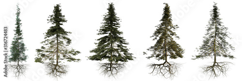 Papel de parede group of conifer trees with roots isolated on white background