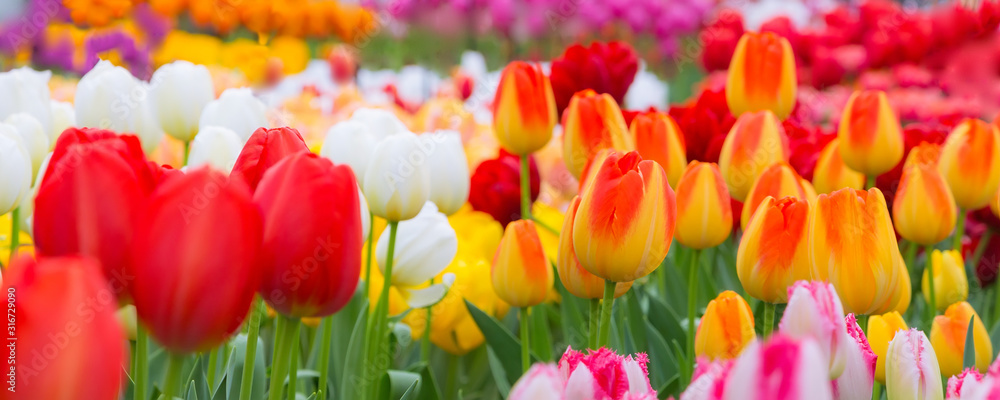 Fototapeta Holiday or birthday panoramic background with tulip flowerbed, red, yellow, white, flower garden