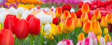 Fototapeta Tulips - Holiday or birthday panoramic background with tulip flowerbed, red, yellow, white, flower garden
