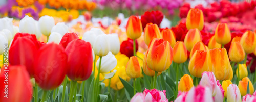 Photo Holiday or birthday panoramic background with tulip flowerbed, red, yellow, whit