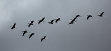 Flight Of Migrating Cranes In ...