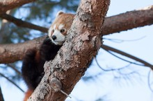 Lazy Red Panda On A Tree Branch