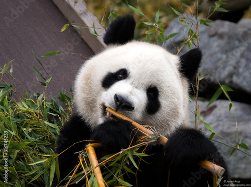 Giant Panda eating bamboo shoots Fototapeta