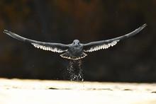 Aigle Chauve Volant Au-dessus ...