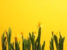 Beautiful Daffodils Against A ...