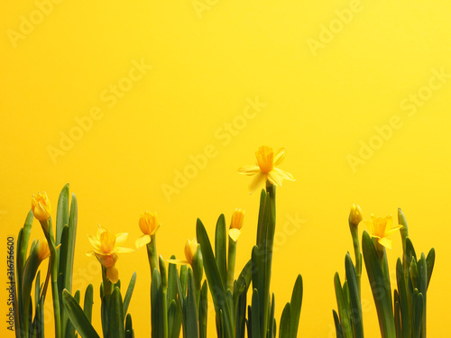 Beautiful daffodils against a yellow background Poster Mural XXL