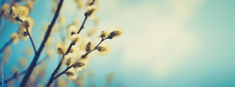 Fototapeta Blooming fluffy willow branches in spring close-up on nature macro with soft focus on turquoise blue background sky. Vintage muted tones, copy space, ultra-wide format.