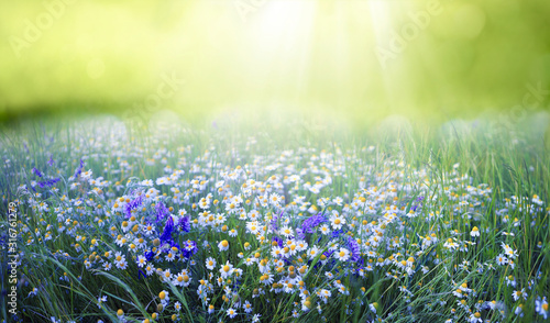 Fotografie, Tablou Beautiful field meadow flowers chamomile and violet wild bells in morning green grass in sunlight, natural landscape, close-up